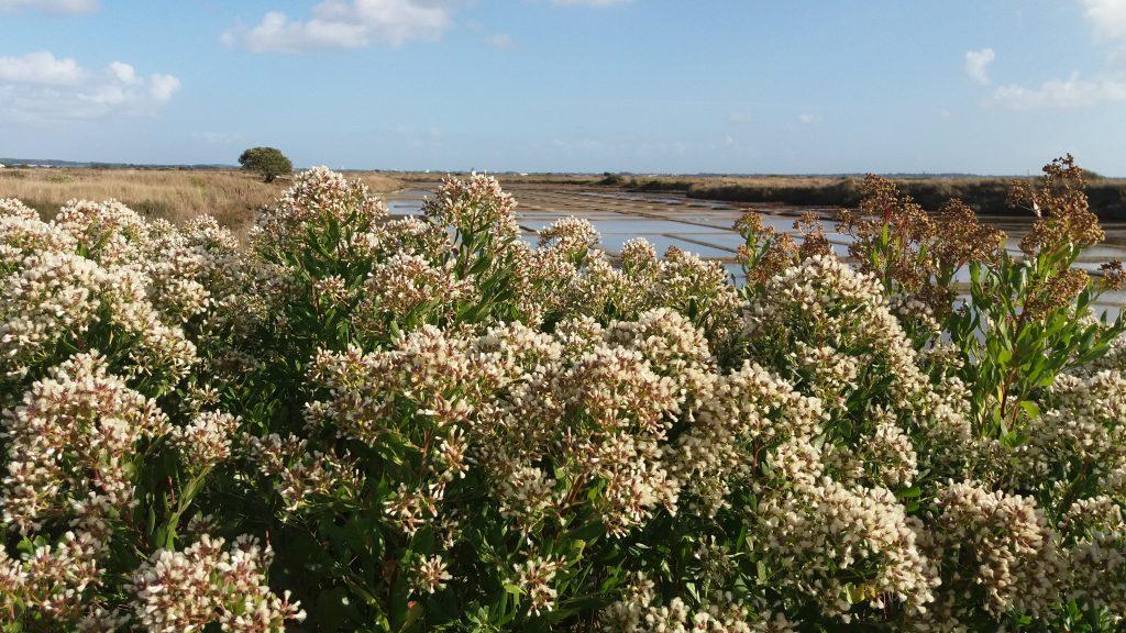 Reprise du Baccharis sur les sites LIFE des marais de Guérande et du Mès